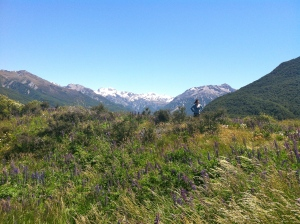 A stunning landscape near Arthur's Pass filled with beautiful but invasive purple lupines